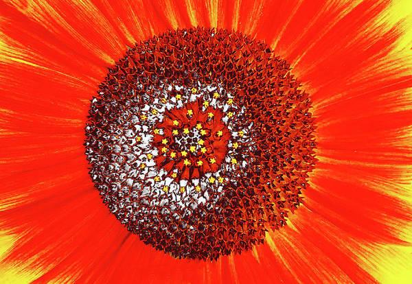 Sunflower Close Art Print