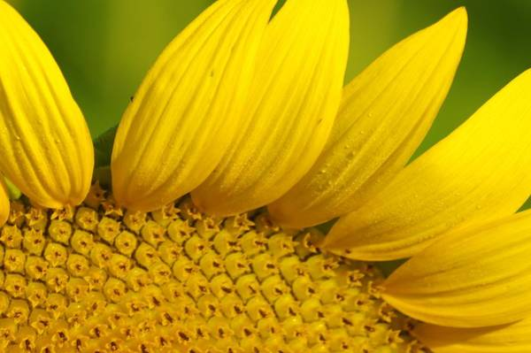 Photograph - Sunflower Close Up by Buddy Scott