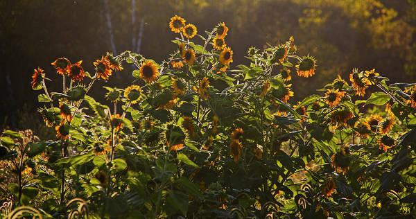Photograph - Sunflower Conversation by John Meader