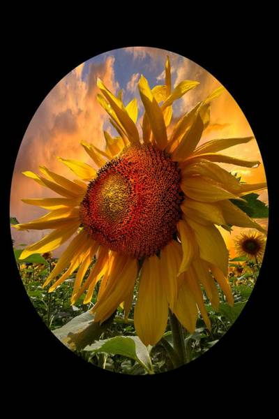 Photograph - Sunflower Dawn In Oval by Debra and Dave Vanderlaan