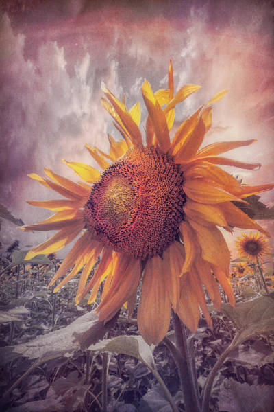 Photograph - Sunflower Dawn In Soft Colors by Debra and Dave Vanderlaan