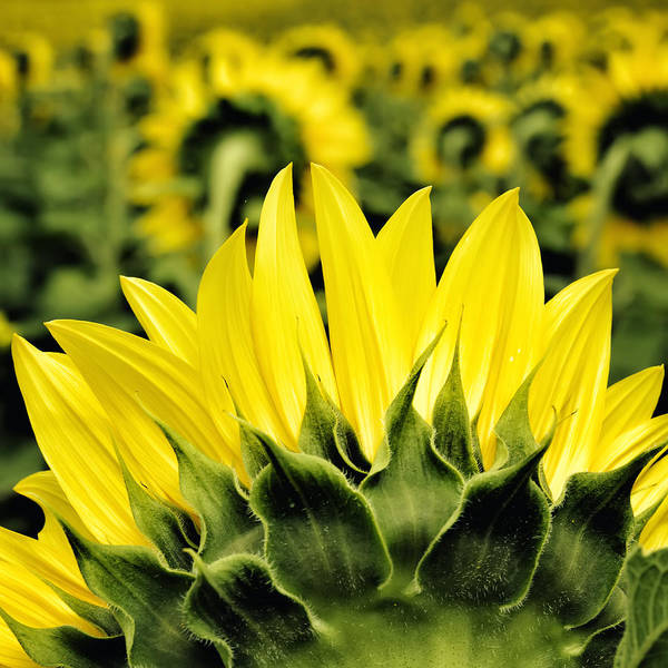 Photograph - Sunflower Days - Square by Georgia Fowler