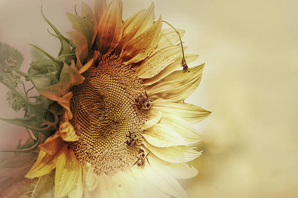 Bee Photograph - Sunflower Days by Susan Capuano