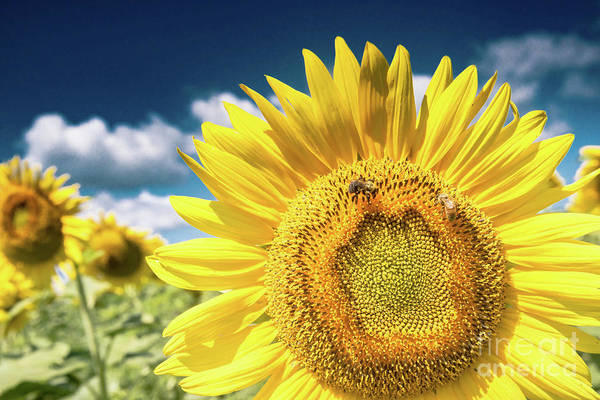 Photograph - Sunflower Dreams by Jim DeLillo