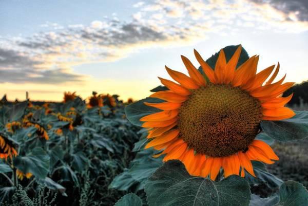 Photograph - Sunflower Evening by David Matthews