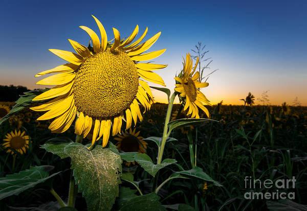 Sunflower Seeds Photograph - Sunflower Evening by Robert Frederick