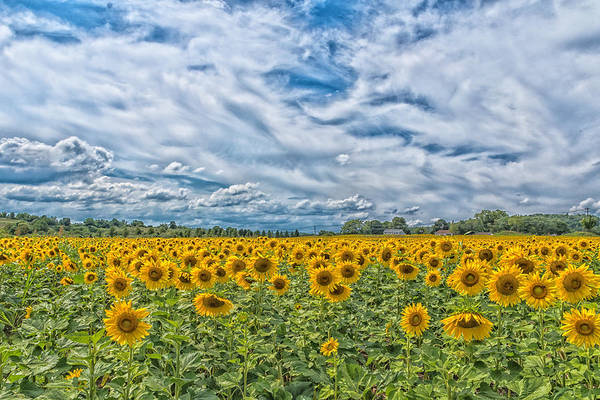 Vernon County Photograph - Sunflower Explosion by John Prause