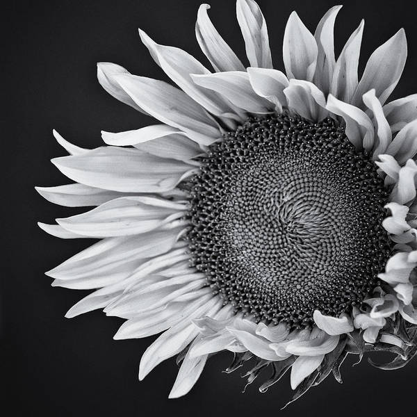Wall Art - Photograph - Sunflower Face by William Dey