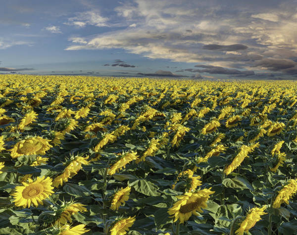 Photograph - Sunflower Field - 2 by OLena Art Brand