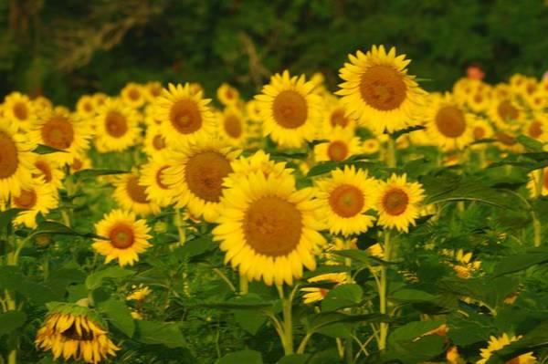 Photograph - Sunflower Field by Buddy Scott