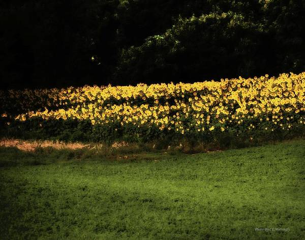 Photograph - Sunflower Field by Coleman Mattingly