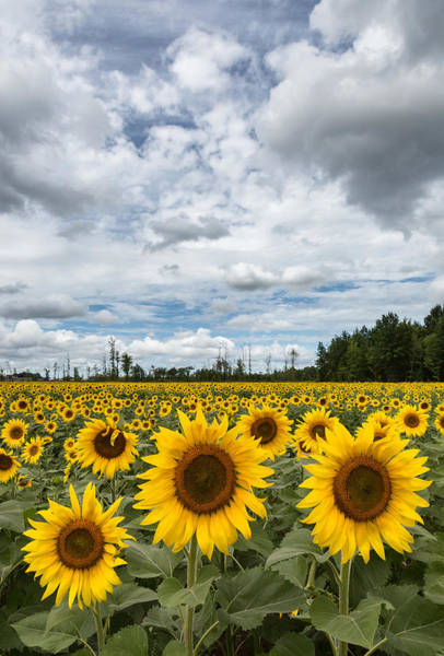 Wall Art - Photograph - Sunflower Field by Dale Kincaid
