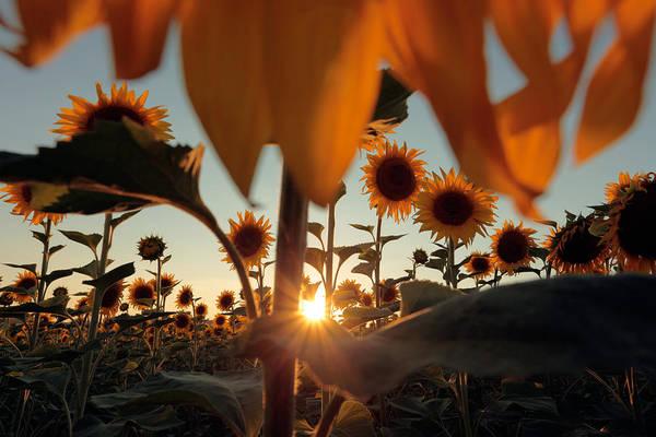 Wall Art - Photograph - Sunflower Field by Floriana Barbu