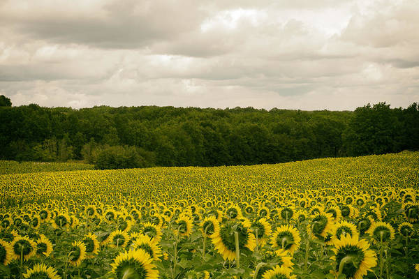 Photograph - Sunflower Field In France by Georgia Fowler