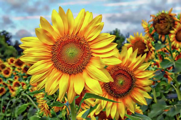 Sunflower Seeds Photograph - Sunflower Field by Jessica Brawley