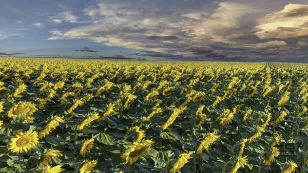 Photograph - Sunflower Fields Near Denver International Airport by OLena Art Brand