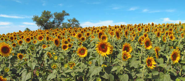 Wall Art - Photograph - Sunflower Field One by Barbara McDevitt