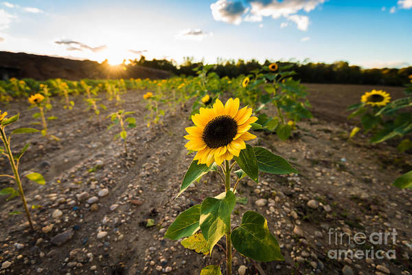 Photograph - Sunflower Field Sunset by Alissa Beth Photography