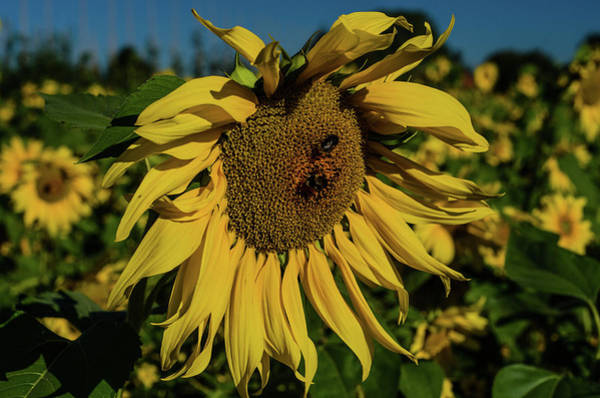 Photograph - Sunflower Fields And Bees by Miguel Winterpacht