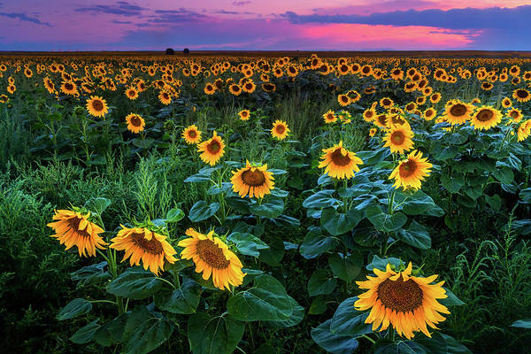 Photograph - Sunflower Fields Forever by John De Bord