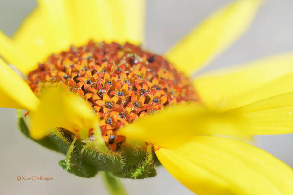 Photograph - Sunflower Flowers by Kae Cheatham