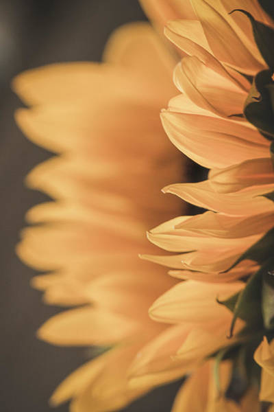 Photograph - Sunflower From The Side by Teresa Wilson