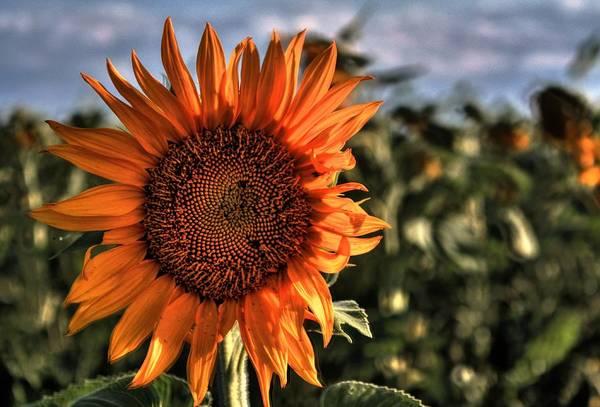 Photograph - Sunflower Glory by David Matthews