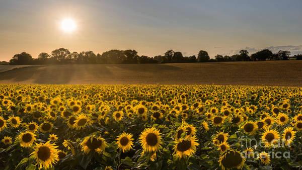 Wall Art - Photograph - Sunflower Harvest by Richard Thomas
