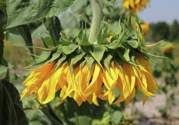 Photograph - Sunflower Head  by George Chernilevsky