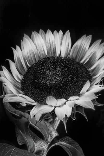 Wall Art - Photograph - Sunflower II by Joseph Smith