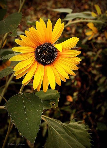 Ish Wall Art - Photograph - Sunflower II by Richard Johnson
