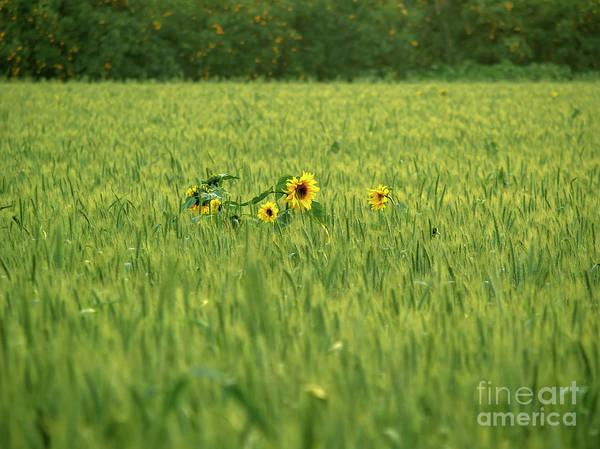 Kibbutz Photograph - Sunflower In A Wheat Field by Amit Strauss