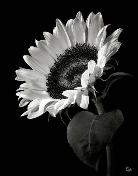 Color Photograph - Sunflower In Black And White by Endre Balogh