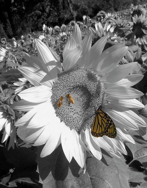 Photograph - Sunflower In Black And White by Melinda Blackman