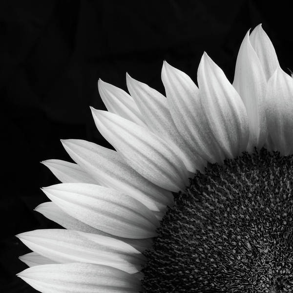 Wall Art - Photograph - Sunflower In Bw by Joseph Smith