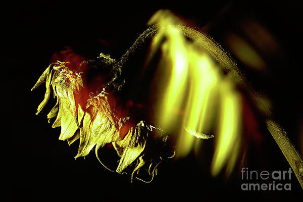 Wall Art - Photograph - Sunflower In Darkness. by Alexander Vinogradov