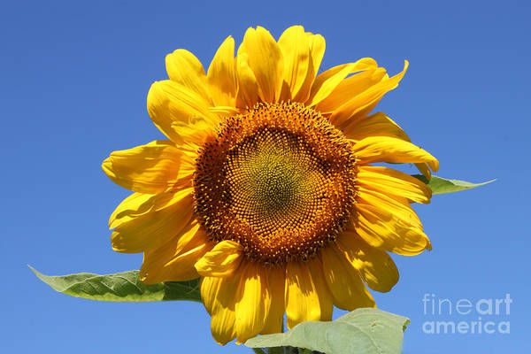 Photograph - Sunflower In Sunshine  by Cathy Beharriell