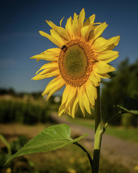 Photograph - Sunflower In The Morning by Miguel Winterpacht