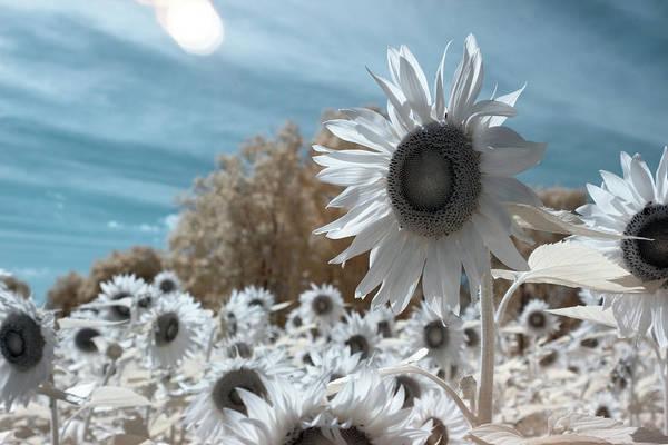 Sunflower Infrared  Art Print