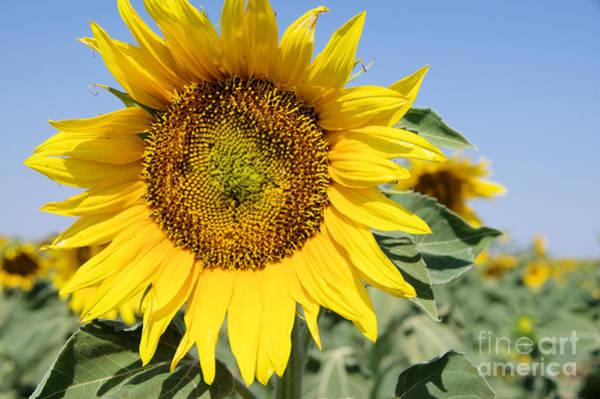 Isolator Wall Art - Photograph - Sunflower by Jeff Swan
