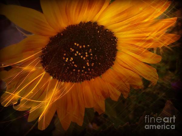 Photograph - Sunflower by Jenny Revitz Soper