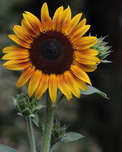 Photograph - Sunflower by John Moyer