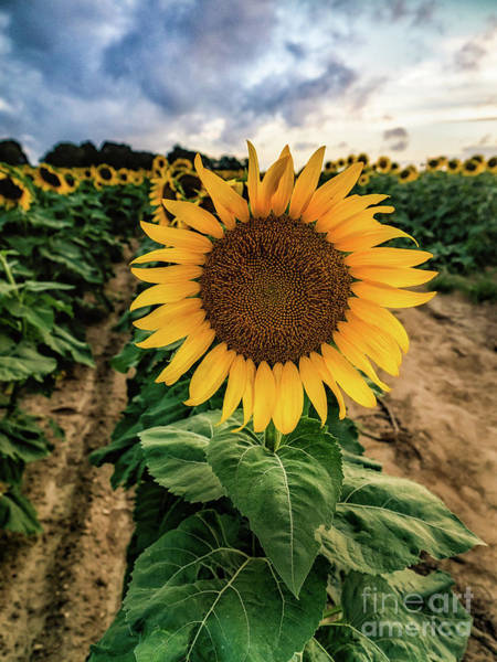 Photograph - Sunflower King Pin by Alissa Beth Photography