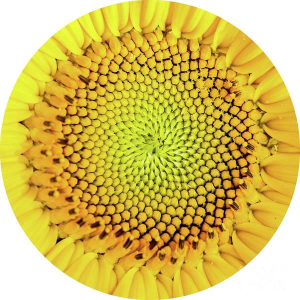 Photograph - Sunflower Large Round Beach Towel Design by Edward Fielding