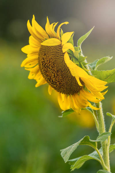 Photograph - Sunflower Light by Terry DeLuco