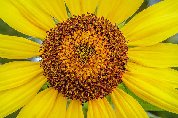 Photograph - Sunflower Macro 2 by Keith Smith