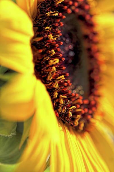 Sunflower Seeds Photograph - Sunflower Macro by Jennie Marie Schell