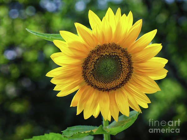 Photograph - Sunflower by Mark Miller