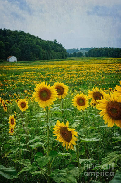 Photograph - Sunflower Maze by Debra Fedchin
