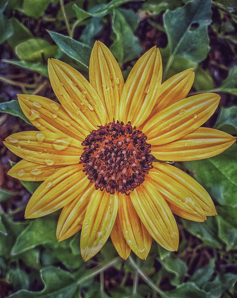 Photograph - Sunflower by Mike Dunn